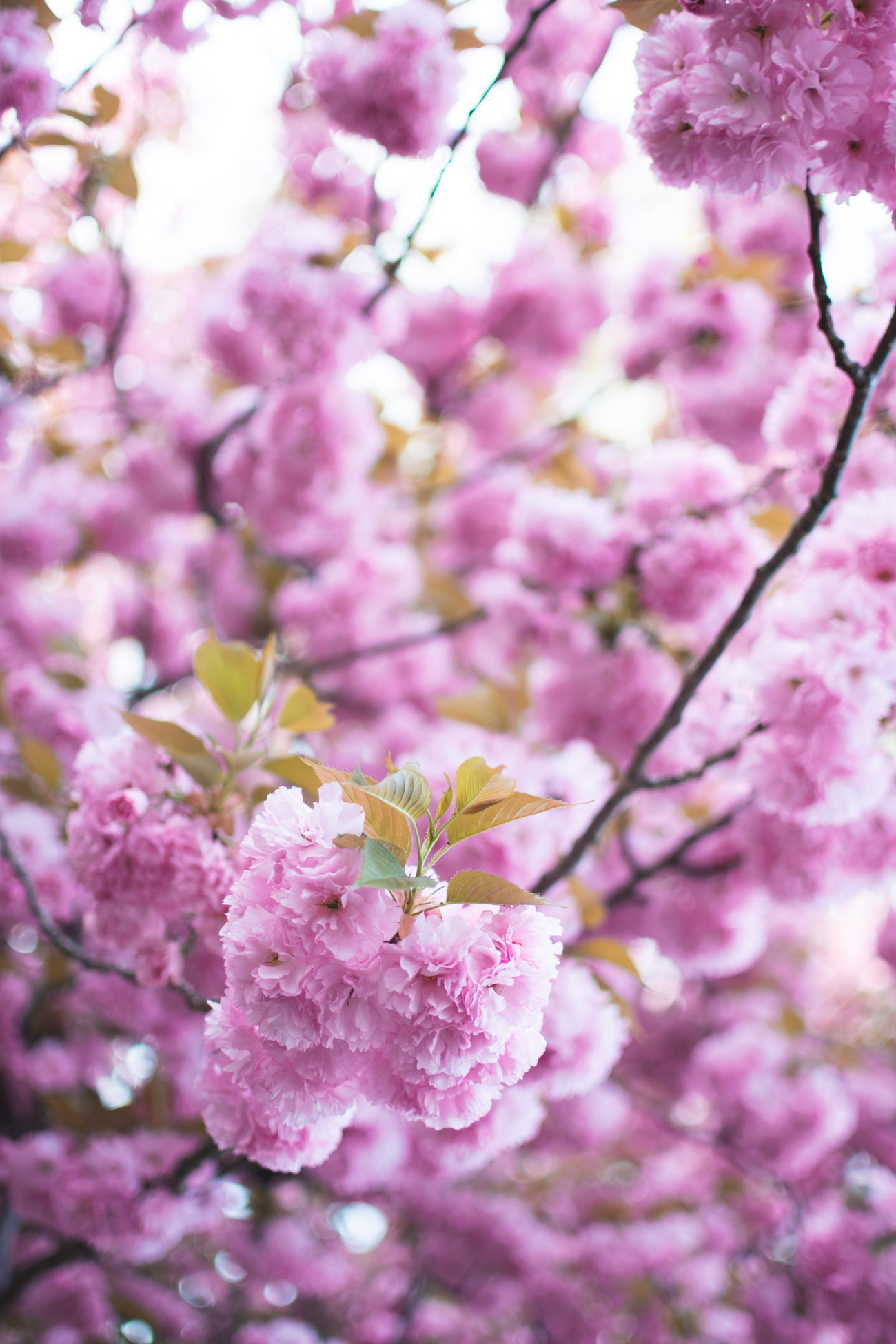 where to find cherry blossoms not in dc