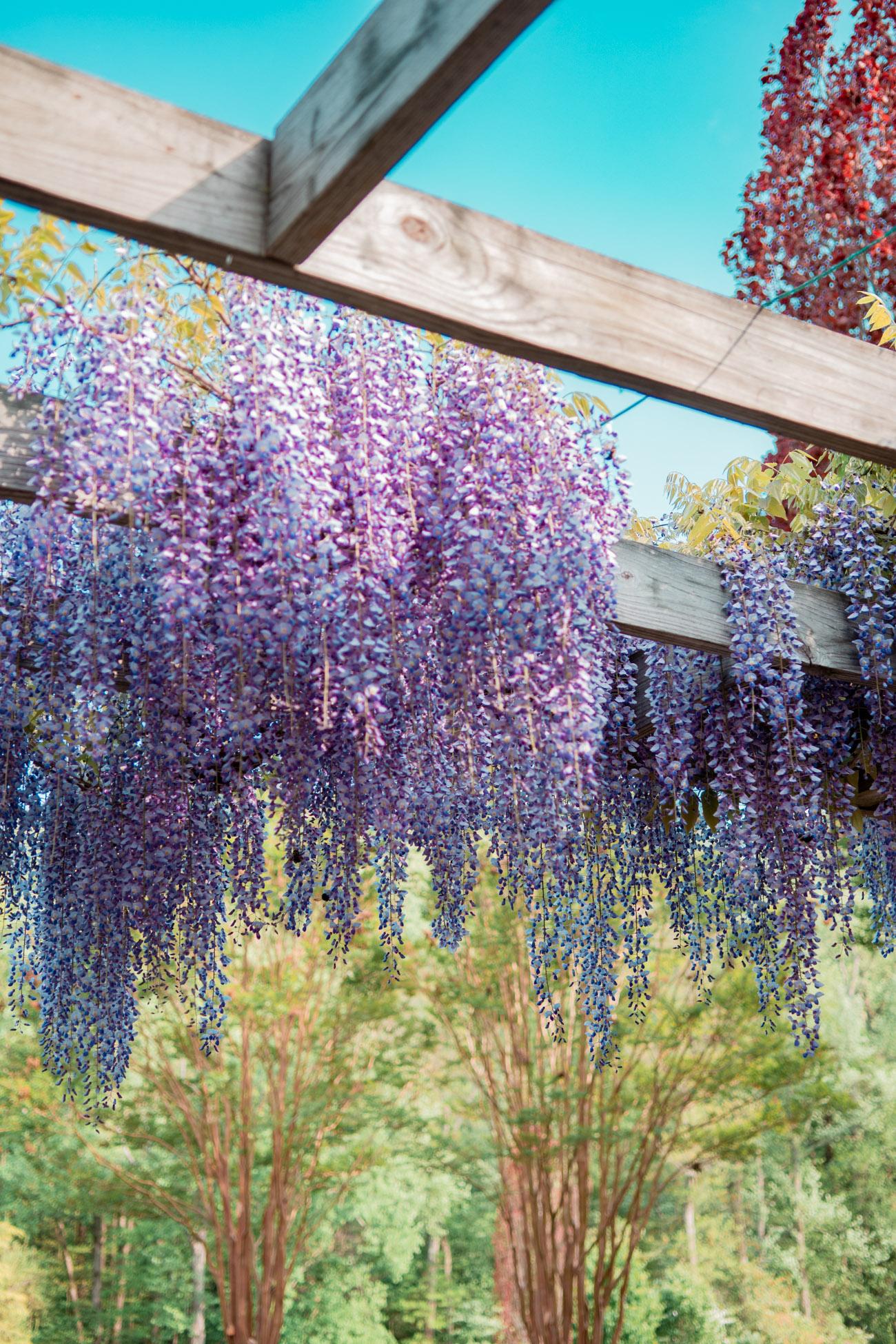 wisteria dc maryland