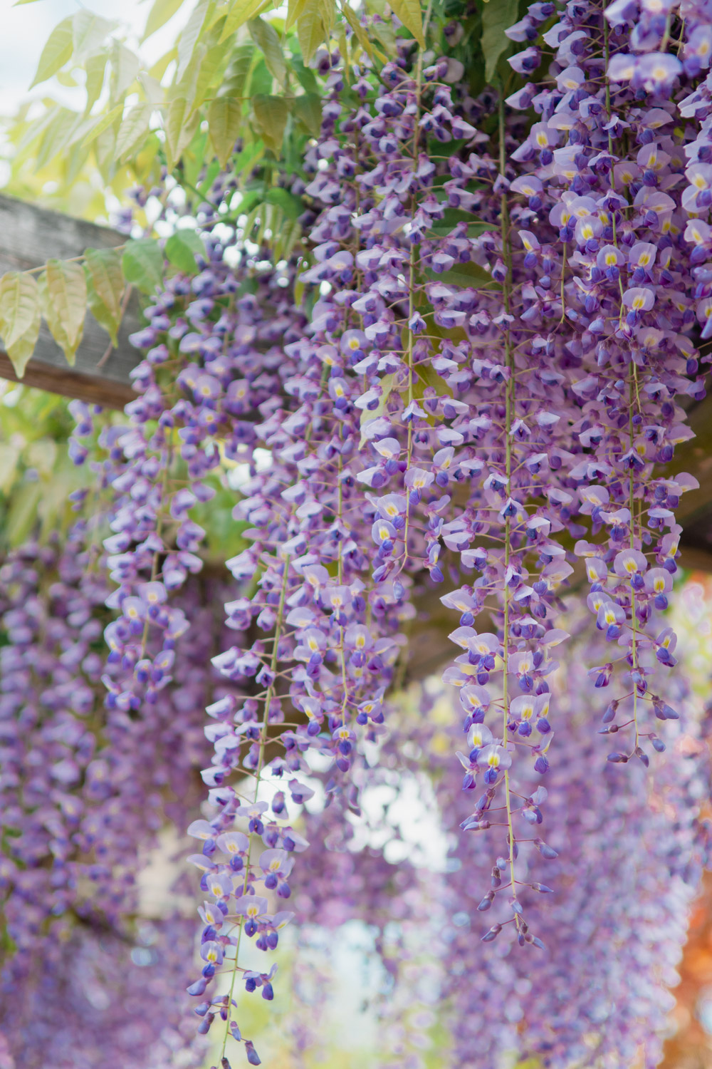 where to find wisteria in washington dc