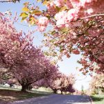 5 Magical Places to See Cherry Blossoms in Maryland with Kids