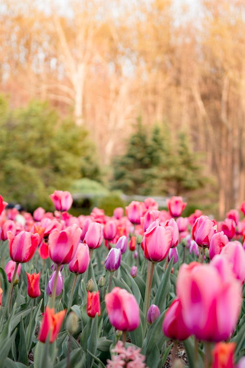 where to see tulips in maryland dc