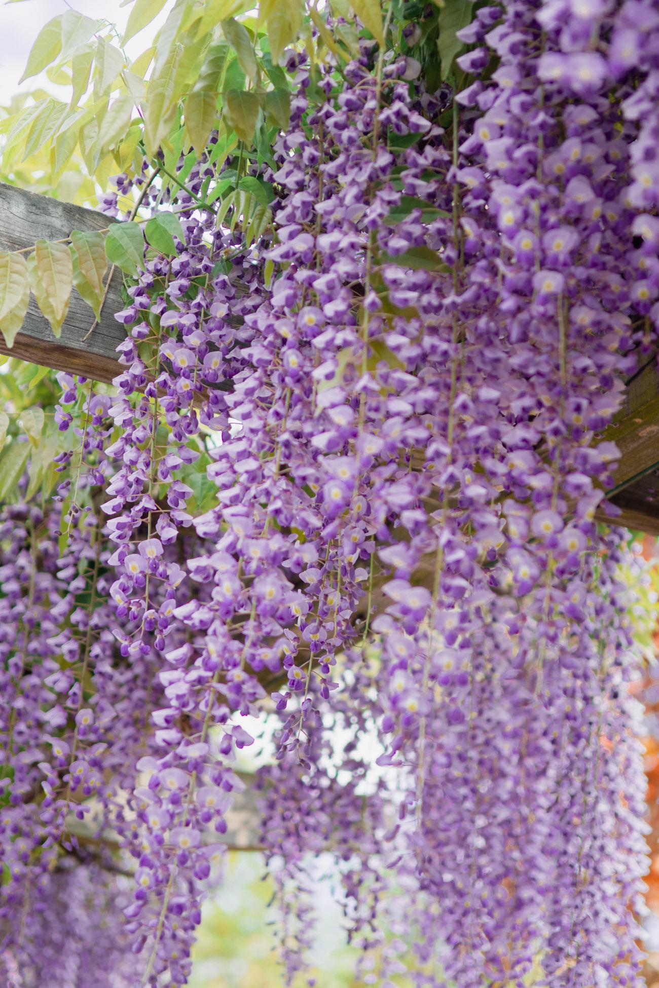 where to find wisteria dc